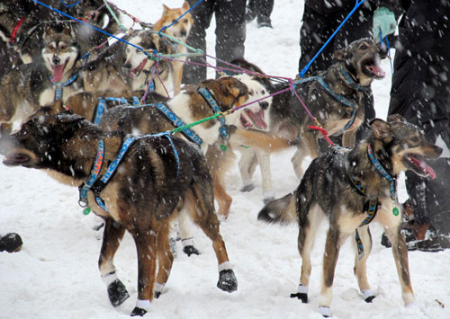 From the start of the 2012 Iditarod.